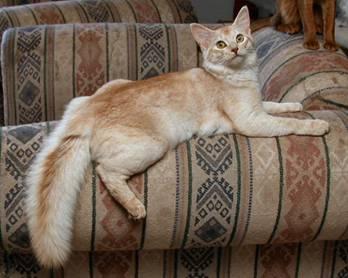 Сомалийская кошка: Окрасы.